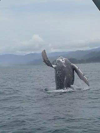 whale breaching off manuel antonio